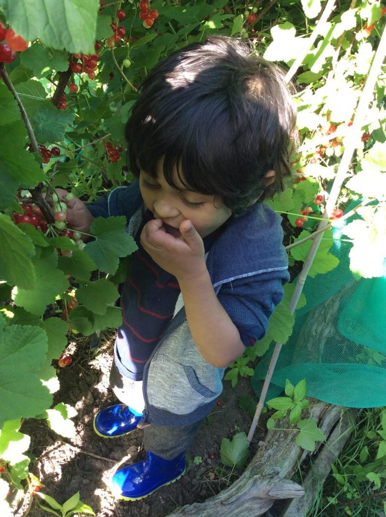 Our red berry bush went down a treat with our two year olds….ummm.