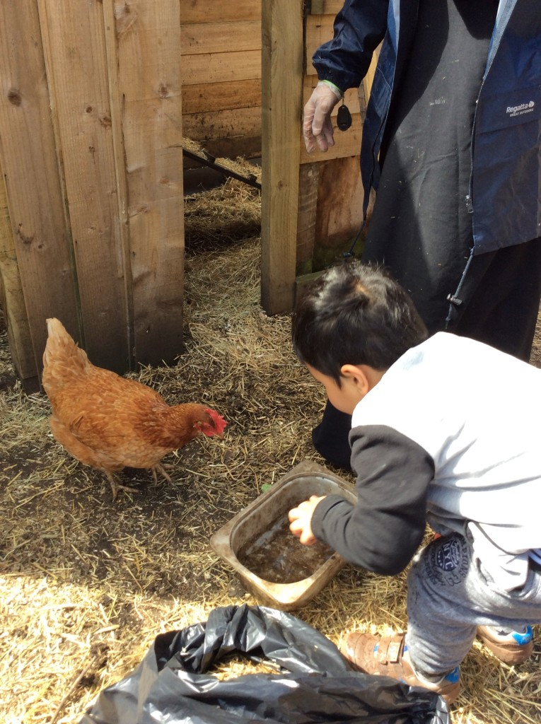 It is important to give chickens water to drink, it helps them grow and stay healthy.