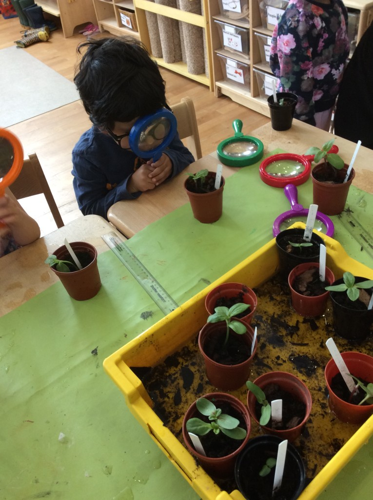 Investigating our sunflower shoots.